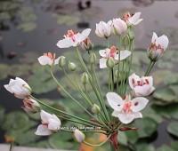 Сусак зонтичный 'Schneeweisschen' ( купить Butomus umbellatus 'Schneeweisschen')