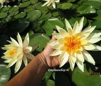 Нимфея Inner Light ( Купить кувшинку, водяную лилию Внутренний свет)
