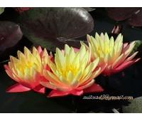 Нимфея Gregg´s Orange Beauty (купить кувшинку, водяную лилию Грегс Орандж Бьюти)