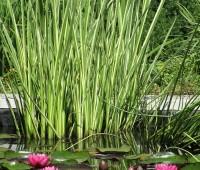 Аир болотный  Variegata или ирный корень (купить Acorus calamus Variegata)