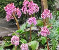 Бадан толстолистый (купить Вergenia crassifolia)