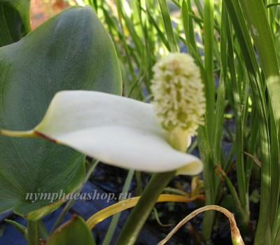 Белокрыльник болотный (купить Calla palustris)