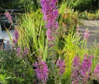 Дербенник иволистный (купить Lythrum salicaria)