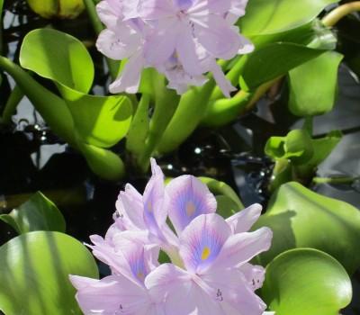 Эйхорния толстоножковая, водяной гиацинт (купить Eichhornia crassipes)