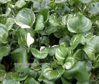 Эйхорния варигатная, водяной гиацинт (купить Eichhornia crassipes)