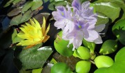 Плавающие растения
