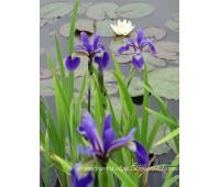 Ирис робуста Gerald Derby (купить Iris robusta  'Gerald Darby')