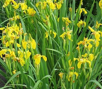 Ирис болотный, аировидный (Купить Iris pseudacorus)