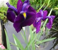 Ирис гладкий Variegata (купить iris laevigata Variegata)