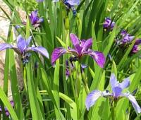 Ирис разноцветный  (купить irisIris versicolor)