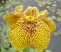 """Ирис болотный  """"Roy Davidson"""" (Купить Iris pseudacorus Рой Дэвидсон)"""