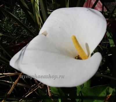 Калла эфиопская, или  зантедеския эфиопская (купить  Calla aethiopica, Zantedeschia aethiopica)