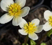 Калужница болотная Альба (купить Сaltha palustris Alba)