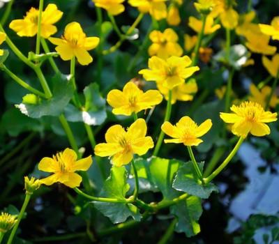Калужница болотная (Купить Caltha palustris)