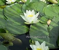 Нимфея Marliacea Albida (купить кувшинку, водяную лилию Марлиака Альбида)