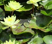 Нимфея Marliacea Chromatella (купить кувшинку, водяную лилию Марлиака Хромателла)