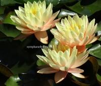 Нимфея Peace Lily  (купить кувшинку, водяную лилию Мир Лилии)