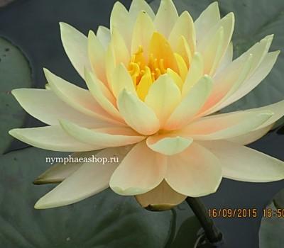 Нимфея Peachglow  (купить кувшинку, водяную лилию Персик Глоу)