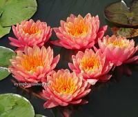 Нимфея Perry's Orange Sunset (купить кувшинку, водяную лилию Перрис Орандж Сансет)