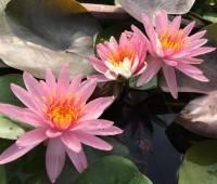 Нимфея Pink Dawn  (купить кувшинку, водяную лилию Пинк Даун )