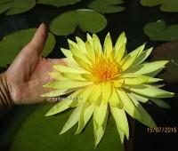 Нимфея PinWaree (купить кувшинку, водяную лилию Пинвэир)