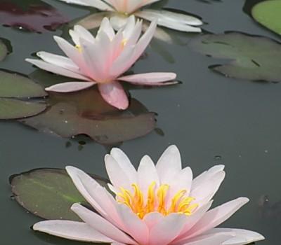 Нимфея Rose Arey (купить кувшинку, водяную лилию Роуз Эрей)