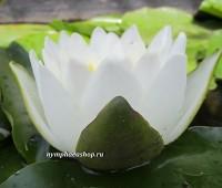 Нимфея Virginalis (купить кувшинку, водяную лилию Вирджиналис)