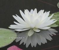 Нимфея White Sensation (купить кувшинку, водяную лилию Белая Сенсация)