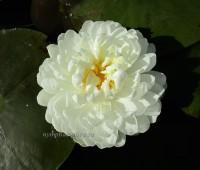 Нимфея White 1000 Petals (купить кувшинку, водяную лилию 1000 белых лепестков)