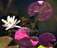 Нимфея Arc-en-Ciel (купить кувшинку, водяную лилию Арк-эн-Циел)
