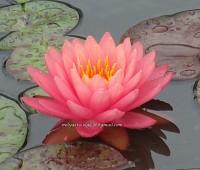 Нимфея Perry`s Autumn Sunset (купить кувшинку, водяную лилию Перрис Отум Сансет)