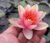 Нимфея Aurora (купить кувшинку, водяную лилию Аврора)