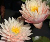 Нимфея Blushing Bride (купить кувшинку, водяную лилию Застенчивая невеста)