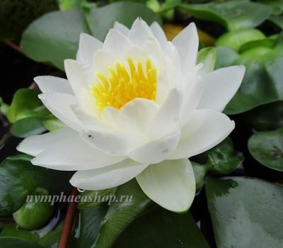 Нимфея Candida (купить кувшинку, водяную лилию Кандида)
