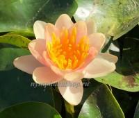 Нимфея Chrysantha (купить кувшинку, водяную лилию Хризанта)