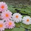 Нимфеи розовые