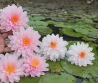 Нимфея Daw Pradab Fah (купить кувшинку, водяную лилию Дау Прадаб Фах)