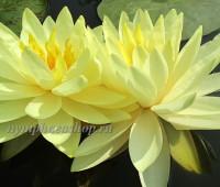 Нимфея Perry's Double Yellow (купить кувшинку, водяную лилию Перрис Дабл Елоу)
