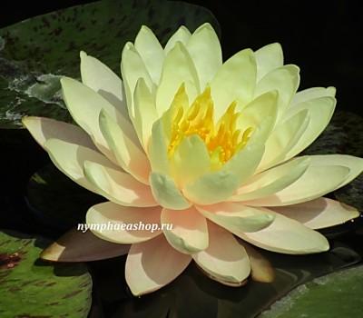Нимфея Florida Sunset (купить кувшинку, водяную лилию Флорида Сансет)