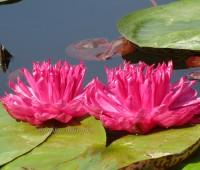 Нимфея Fuchsia Pom Pom  ( Купить кувшинку, водяную лилию Фуксия Пом Пом)