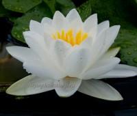 Нимфея Gladstoniana ( Купить кувшинку, водяную лилию Гладстониана)