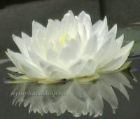 Нимфея  Gonnere (купить кувшинку, водяную лилию Жоннери)