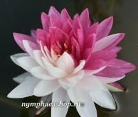 Нимфея Jakkaphong (купить кувшинку, водяную лилию Джаккафонг)