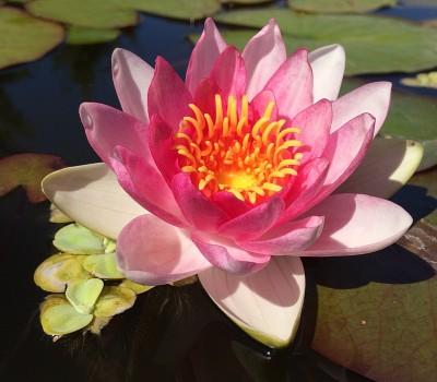 Нимфея Laydekeri Rosea Prolifera (купить кувшинку, водяную лилию Лайдекери Розеа Пролифера)