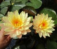 Нимфея Mangala Ubol (купить кувшинку, водяную лилию Мангала Убол)