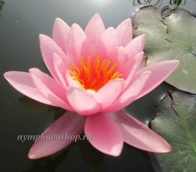 Нимфея Marliacea Carnea (купить кувшинку, водяную лилию Марлиака Карнеа)