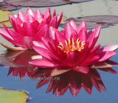 Нимфея Marliacea Rubra Punctata ( Купить кувшинку, водяную лилию Марлиака Румба Пунктата)