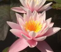 Нимфея Marliacea Rosea (купить кувшинку, водяную лилию Марлиака Розеа)
