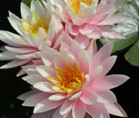 Нимфея Myra ( Купить кувшинку, водяную лилию Майра)