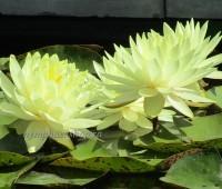 Нимфея Norma God'e (купить кувшинку, водяную лилию Норма Годэ). На размножении.